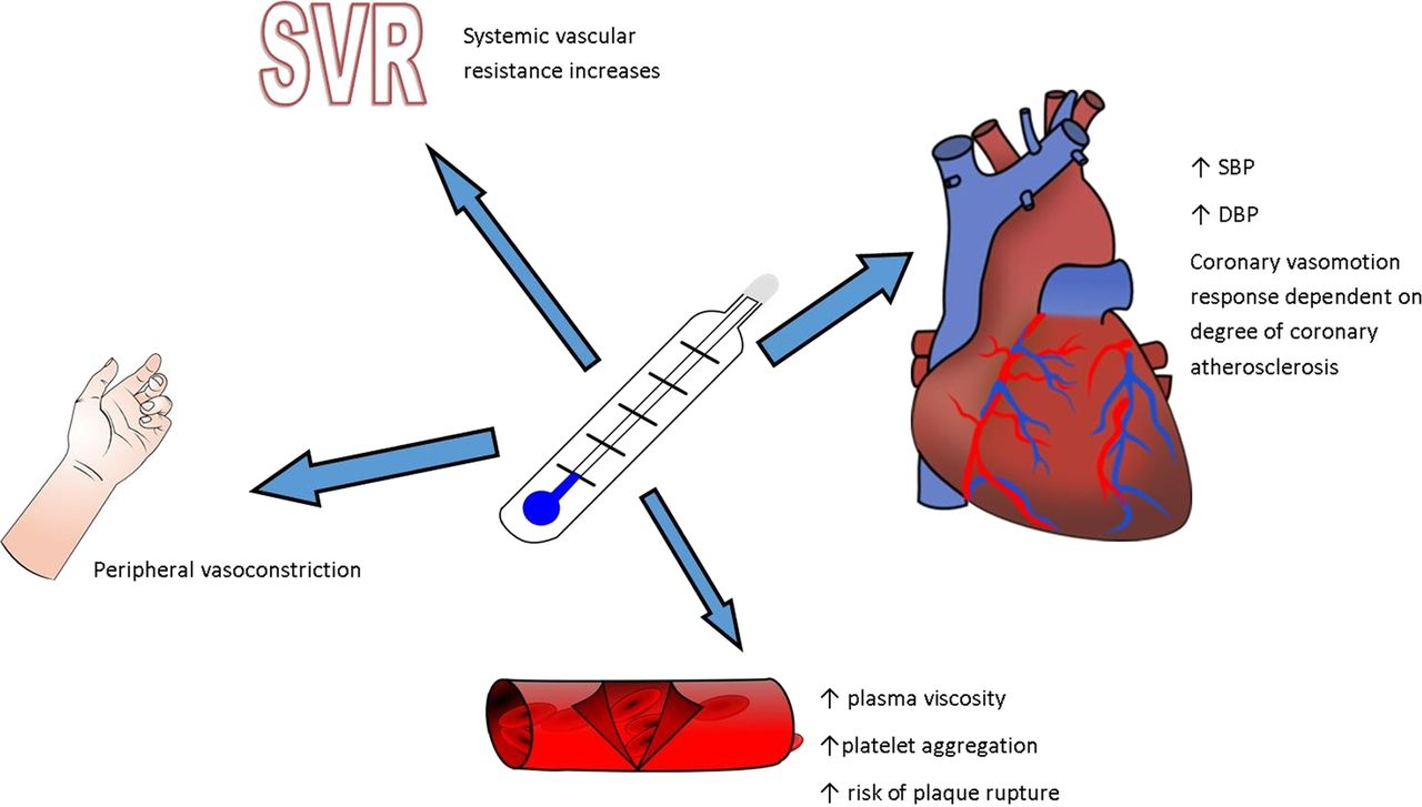 The Effects Of Cold And Exercise On The Cardiovascular System Heart