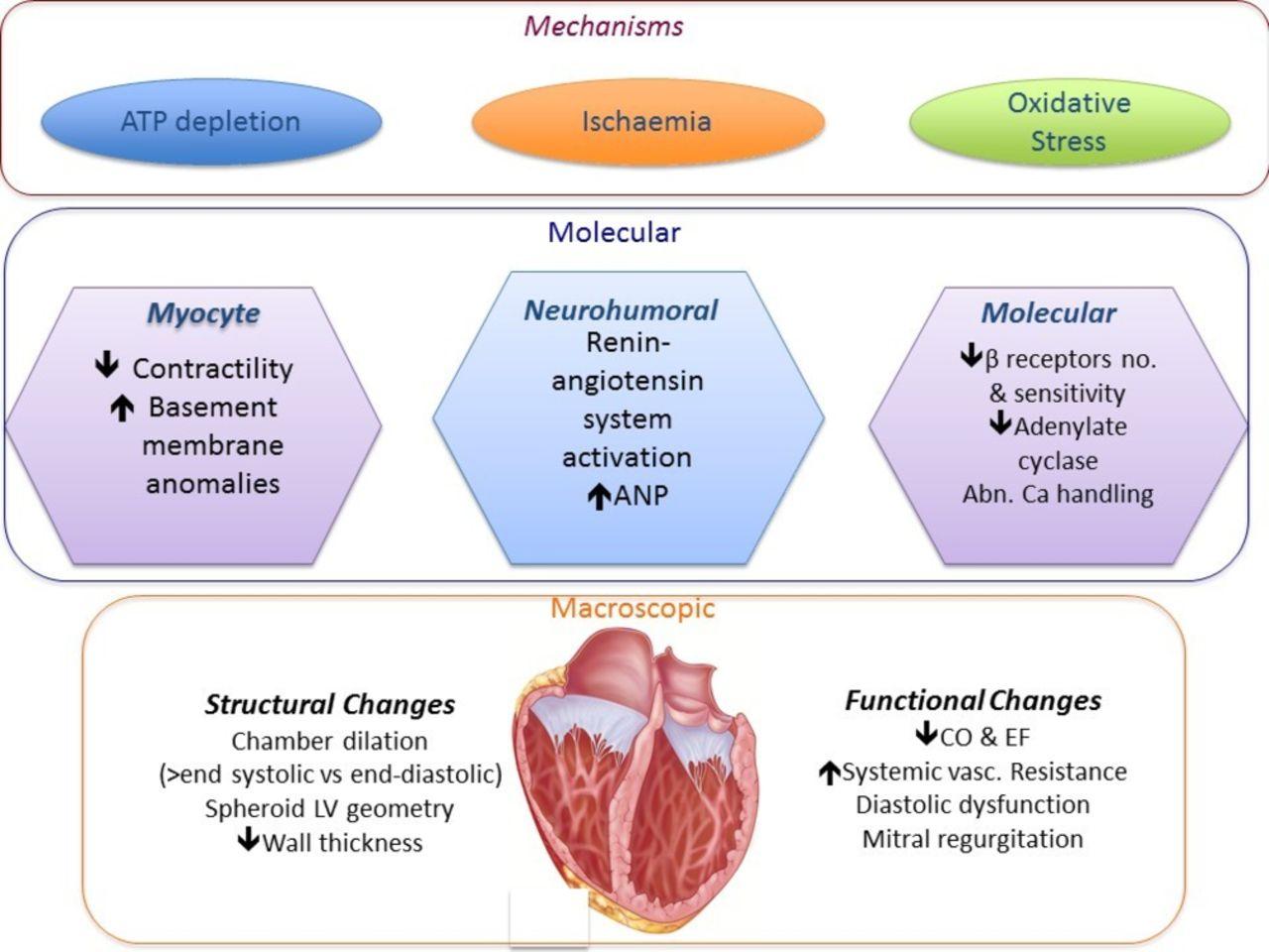 Pathophysiology, diagnosis and treatment of tachycardiomyopathy | Heart