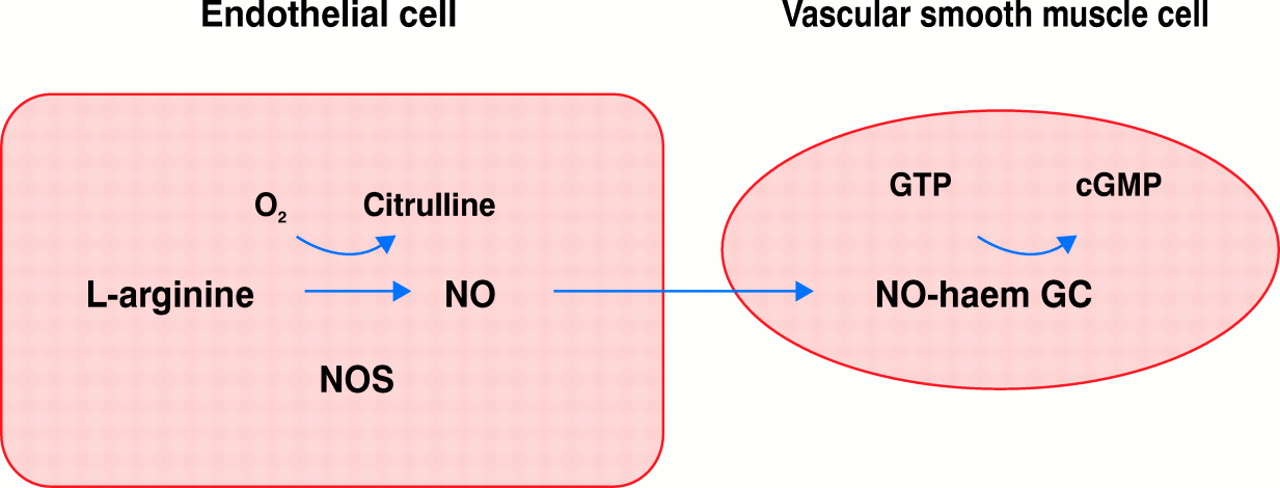 The L-arginine: nitric oxide pathway. NO, nitric oxide; NOS, nitric oxide ...