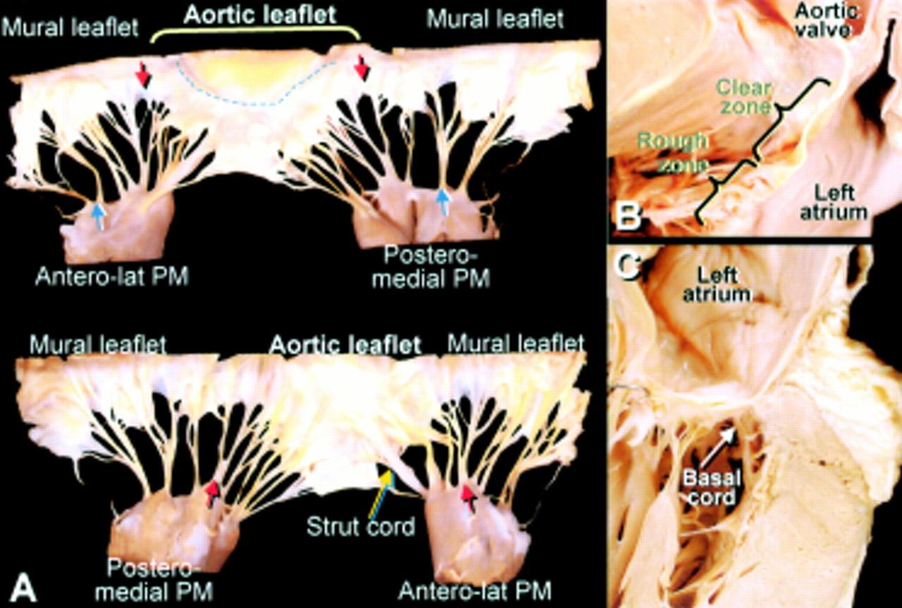 Anatomy of the mitral valve | Heart