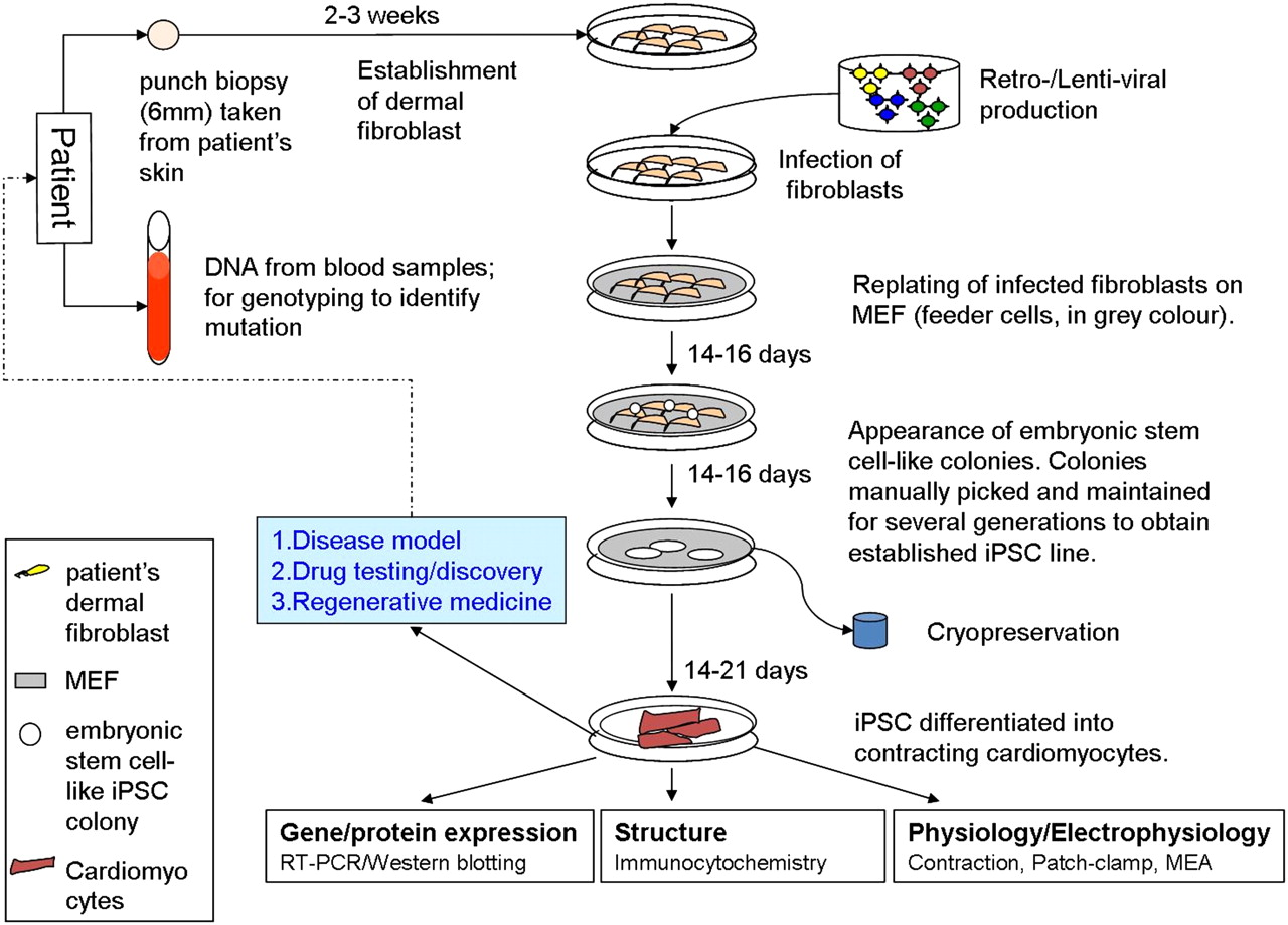 Clinical Applications Of Patient Specific Induced Pluripotent Stem Cell Diagram Showing Download Figure Open In New Tab Powerpoint 1 Schematic